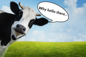 cow-8-630x417